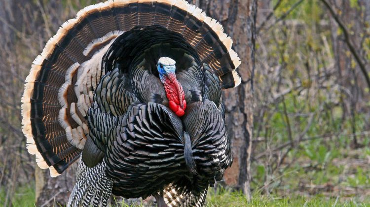 Crossbow Hunting Tips for Turkey