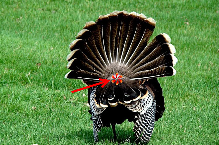Backside Turkey hunting